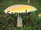 Amanita Shrooming [GM/Publisher Image]