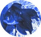 Blue Oranda Publishing