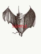 Fox Bat: Stock Art