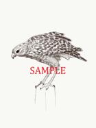 Hawk: Stock Art